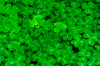 3 Leaves of Luck